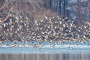 Canvasbacks, Aythya valisineria, Detroit River, Ontario, Canada
