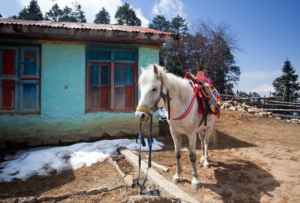 White horse wearing a colourful traditional Nepali saddle, standing outside a teahouse, Nepal