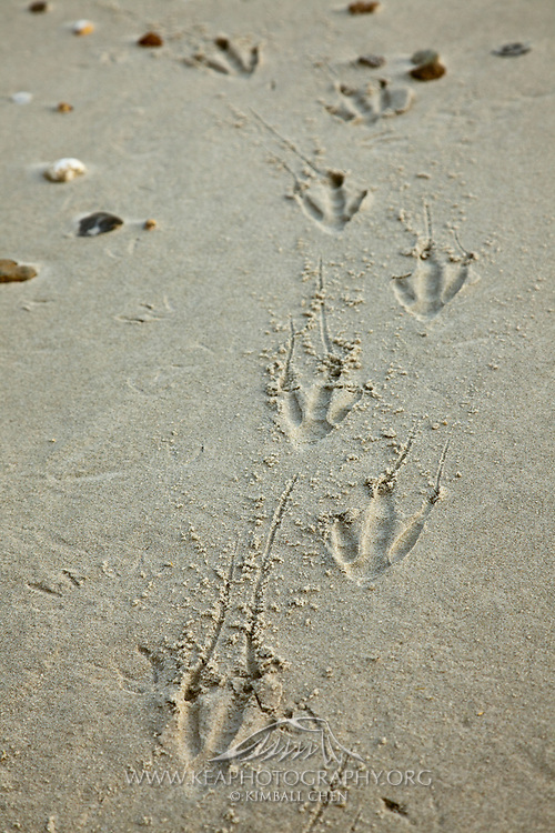 Yellow-eyed Penguin footprints in the sand