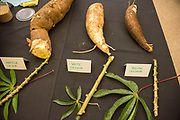 YELLOW CASSAVA<br /> Curator: Dave Elliot, Oʻahu Resource Conservation & Development Council<br /> Chef: Jenn Hee, Juicy Brew