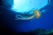 Common Jelly (Pelagia noctiluca)