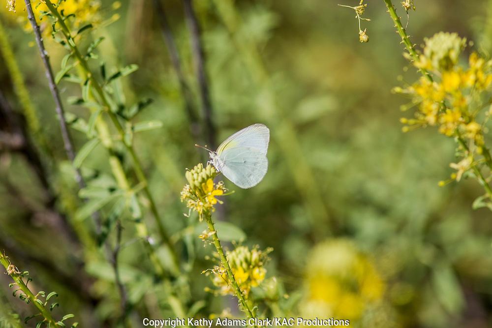 Lyside Sulphur butterfly; Kricogonia lyside; Big Bend National Park; Chihuahuan Desert; Texas in summer.