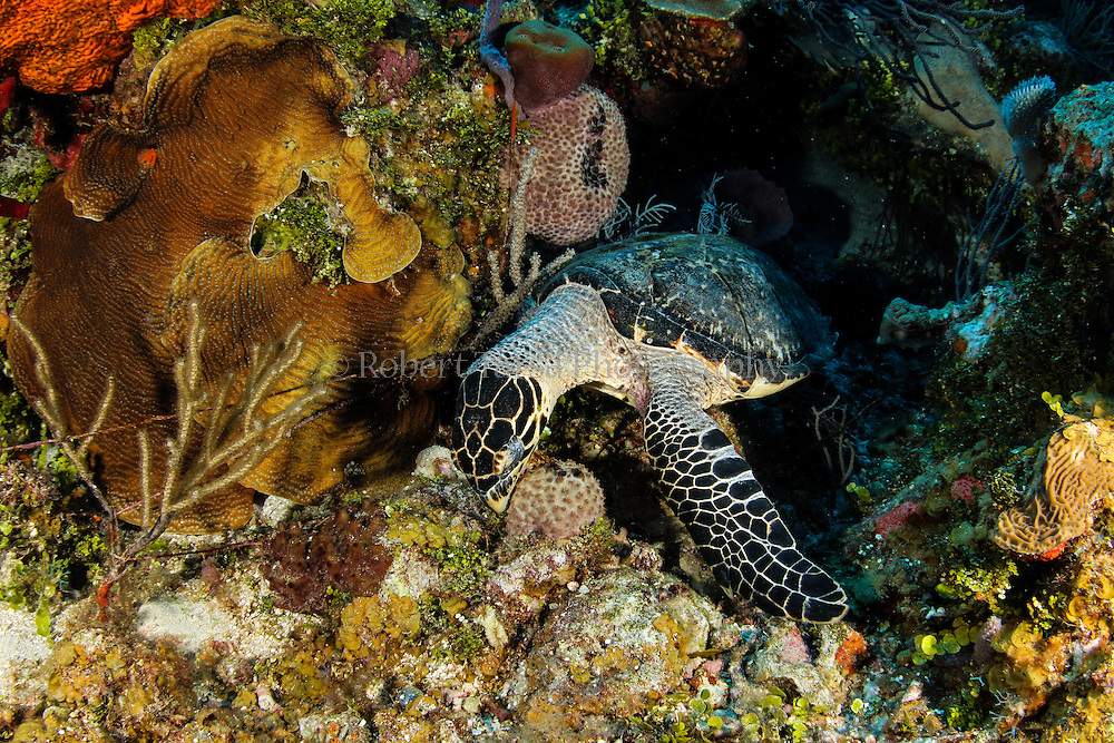 Green sea turtle foraging on the reef.