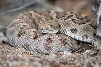 Endemic rattleless rattlesnake on Isla Santa Catalina in Bahia de la Loreto National Park in the the Gulf of California, Mexico.