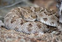 Endemic rattleless rattlesnake on Isla Santa Catalina in Bahia de la Loreto National Park in the the Gulf of California, Mexico.