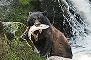 An adult American black bear climbs out of the water after grabbing a spawning salmon from the falls at Anan Creek in the Tongass National Forest, Alaska. Anan Creek is one of the most prolific salmon runs in Alaska and dozens of black and brown bears gather yearly to feast on the spawning salmon.