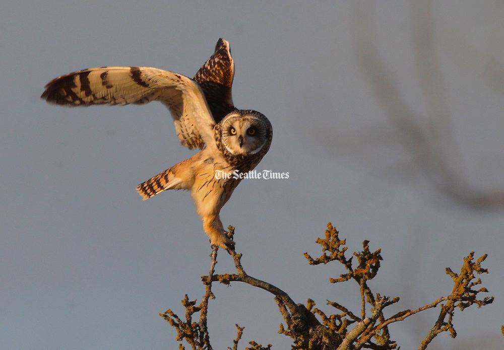 A Short-eared owl takes flight as it hunts rodents in the fields along Eide Road near Stanwood. (Mark Harrison / Seattle Times)