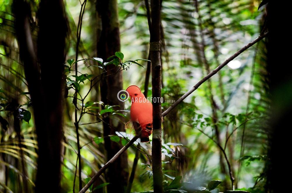 O Galo da serra (Rupicola rupicola) eh uma ave passeriforme da familia dos cotingideos, que ocorre em regioes montanhosas e florestais do extremo Norte do Brasil, bem como nos paises limitrofes, apesar de estar ameacada por colecionadores de passaros de gaiolas. Tais aves chegam a medir ate 28 cm de comprimento, sendo os machos possuidores de exuberante plumagem alaranjada e uma proeminente crista que cobre o bico. As femeas, por sua vez, possuem plumagem marrom escura com crista menos evidente. Tambem sao conhecidos pelos nomes de galo da rocha e galoa do para. / ..The orange plumaged Guianan Cock of the rock, Rupicola rupicola is a stout-bodied passerine with an extraordinary half-moon crest, an orange-tipped black tail, black, orange and white wings and silky-orange filaments of the inner remiges. The less conspicious female is dark brownish-grey overall, has a yellow-tipped black bill and a smaller crest. It has a total length of approximately 30 centimeters (12 in) and weighs 200-220 grams (7-7½ oz).The Guianan Cock of the rock is distributed in the mountainous regions of Guyana, eastern Colombia, southern Venezuela, Suriname, French Guiana and northern Amazonian Brazil. The preferred habitat is humid forest near rocky outcrops.