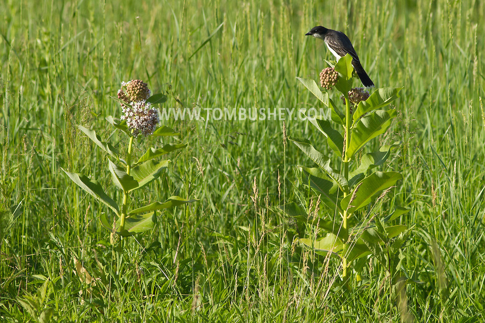 Goshen, New York - A bird perches on a milkweed plant at the 6 1/2 Station Road Sanctuary on June 20, 2014.