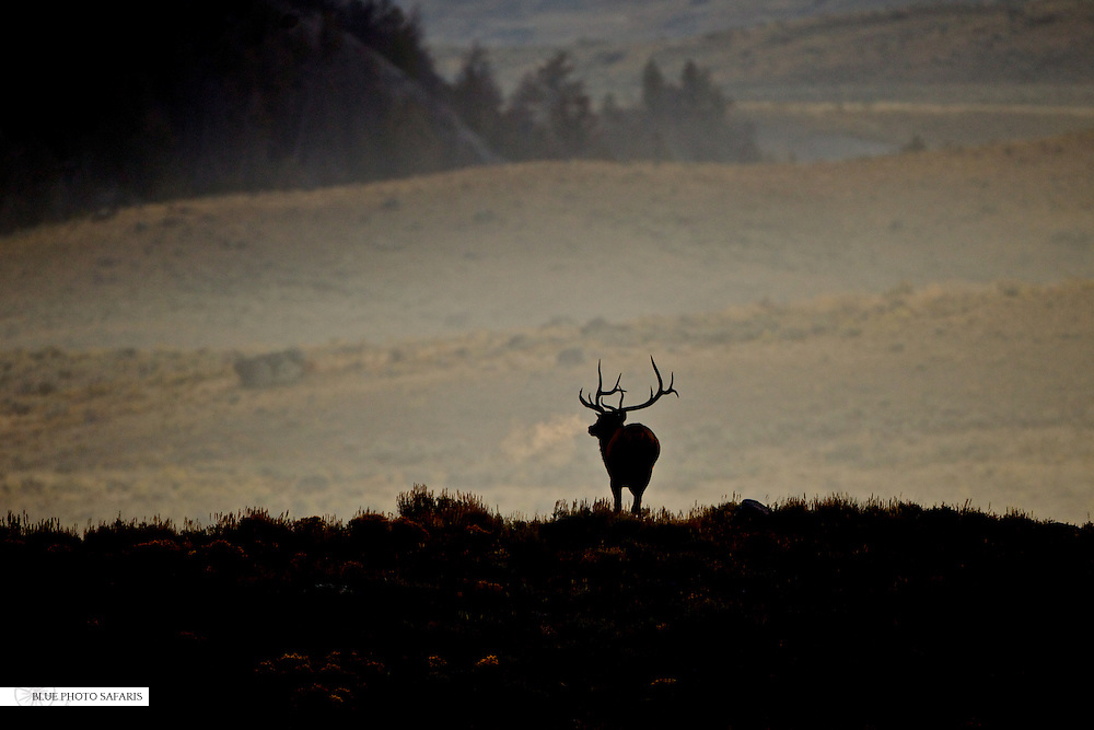 Bull elk silhouette at sunrise
