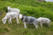 Traditional Herdwick sheep and ram in the Lake District National Park, Cumbria, UK