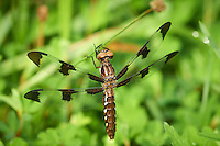 Dragonfly at the Sourland Mountain Preserve. Image taken with a Nikon D800 and 300 mm f/2.8 VR lens (ISO 450, 300 mm, f/5.6, 1/640 sec)