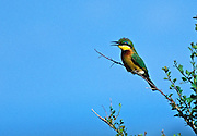 Little Bee-Eater Bird, Merops pusillus, perched on bush in Maasai Mara National Reserve, Kenya, Africa