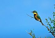Little Bee-Eater Bird, Merops pusillus, perched on bush in Maasai Mara National Reserve, Kenya, Africa