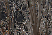The remains of trees along the Oracle Ridge Trail on Mount Lemmon, Santa Catalina Mountains, Coronado National Forest, Sonoran Desert, Summerhaven, Arizona, USA.
