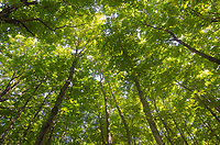 Forest canopy, northern hardwood-hemlock-white pine deciduous forest. Pictured Rocks National Lakeshore Michigan