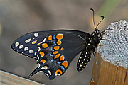 Adult black swallowtail butterfly on fence post in backyard<br />