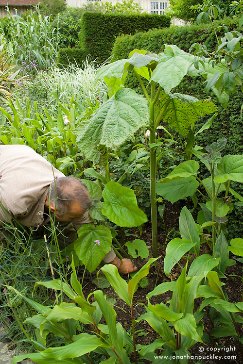 Fergus Garrett removing side shoots of Paulownia tomentosa in the exotic garden at Great Dixter