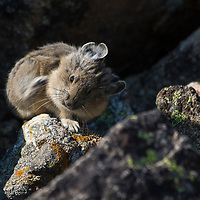 Pika scratching on the Beartooth Plateau