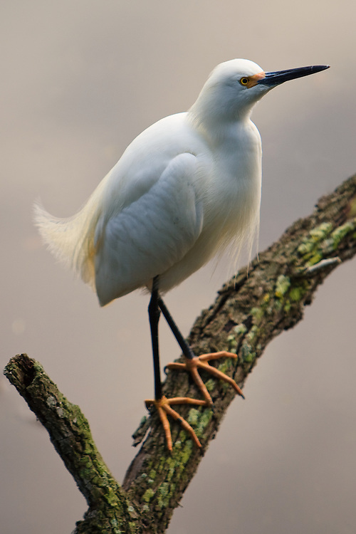Portrait of an evening back-lit wild snowy egret (Egretta thula) perched on a dead branch, St. Augustine Alligator Farm Rookery, Anastasia Island, St. Augustine, Florida