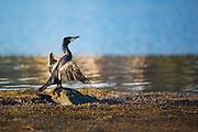 Skarv i kveldssol som soltørker vingene sine | Cormorant in evening sun, sundrying it's wings.