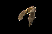 A arizona myotis (Myotis occultus) bat, in flight at night. Coconino National Forest, Arizona.