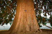 Giant sequoia (Sequoiadendron giganteum) in Mount Tabor Park, Portland, Oregon, USA.