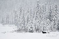 Wild black wolf in a winter snowstorm in the Canadian north.