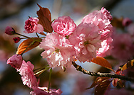 The wonderful flowers of this ornamental cherry tree, Prunus accolade, are seen at their prime on a beautiful Spring day. Sunlight highlights the numerous shades of pink on these alluring blossoms. <br />