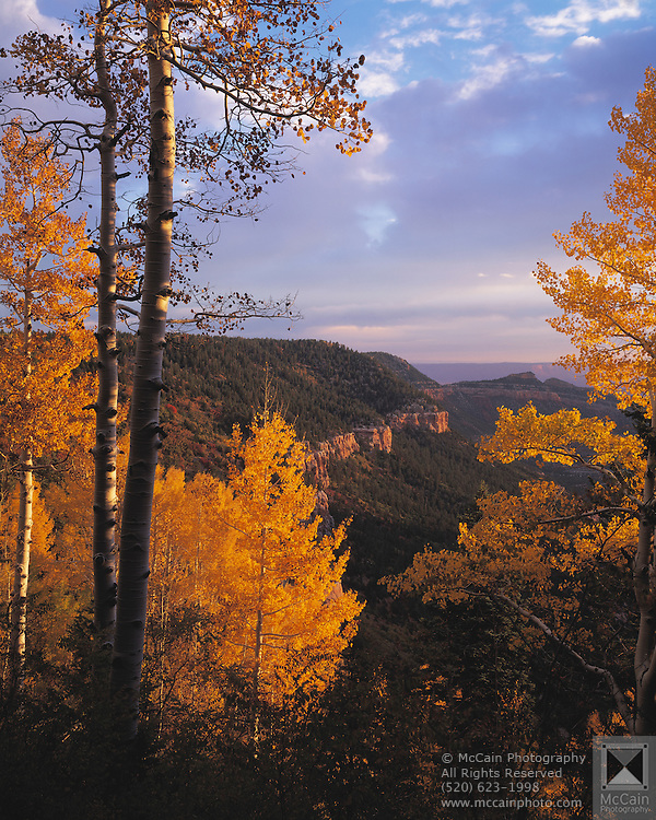 Aspen trees (Populus tremuloides) tinted with the golds & reds of autumn sparkle  at sunrise, looking East into North Canyon, Kaibab Natl. Forest, Arizona..Subject photograph(s) are copyright Edward McCain. All rights are reserved except those specifically granted by Edward McCain in writing prior to publication...McCain Photography.211 S 4th Avenue.Tucson, AZ 85701-2103.(520) 623-1998.mobile: (520) 990-0999.fax: (520) 623-1190.http://www.mccainphoto.com.edward@mccainphoto.com.