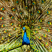 peacock at Beacon Hill park