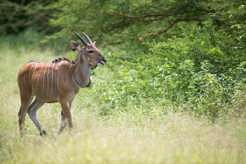 Derby Eland, Taurotragus derbianus , eland gigante, 德氏大羚羊, إيلاند عملاق