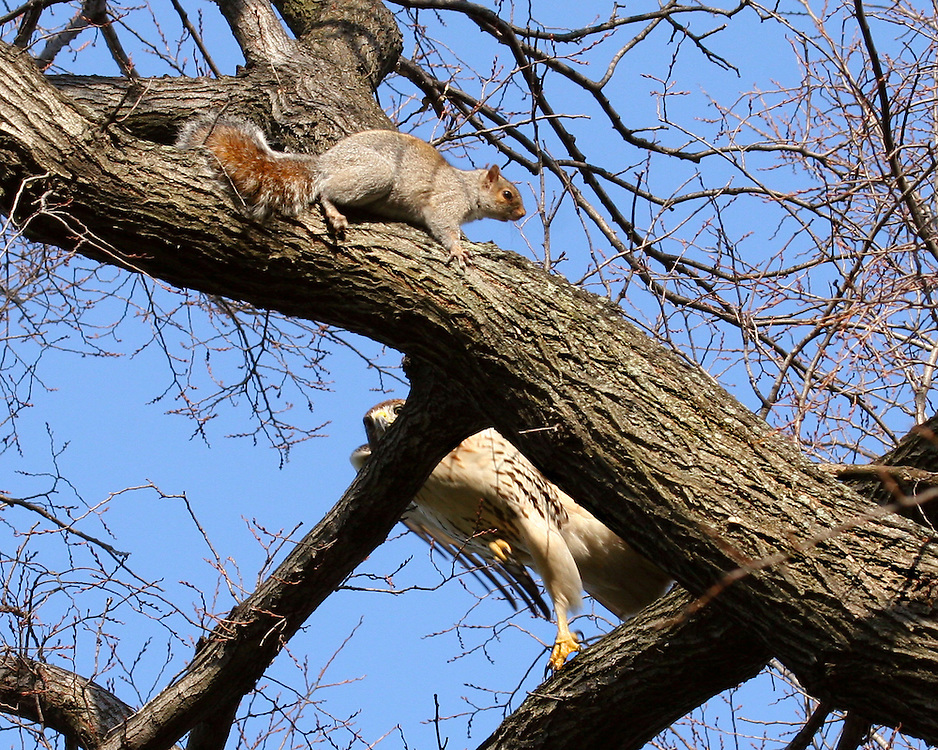 The hawk leaps to a closer branch!