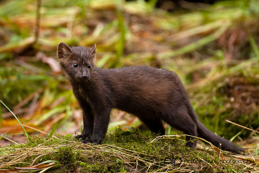 Pine Marten standing on grass shoreline looking for salmon carcasses;  British Columbia in wild.