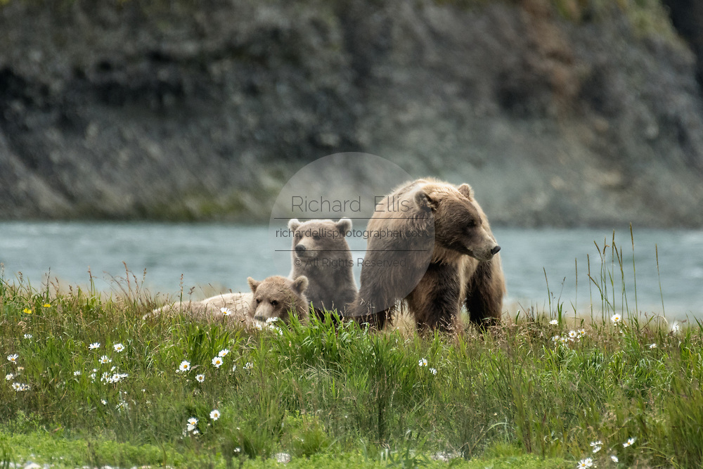 A brown bear sow and her yearling cubs rest in a field of arctic daisies at the McNeil River State Game Sanctuary on the Kenai Peninsula, Alaska. The remote site is accessed only with a special permit and is the world's largest seasonal population of brown bears in their natural environment.