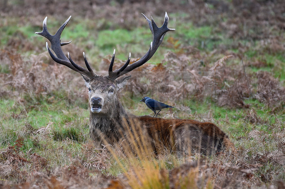 © Licensed to London News Pictures. 09/11/2019. LONDON, UK.  A red deer stag receives an inspection by a crow in Richmond Park during the annual rut.  The rut occurs during October and November where stags compete for mating rights.  Photo credit: Stephen Chung/LNP