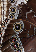 A macro shot of the wings of an Owl Butterfly.