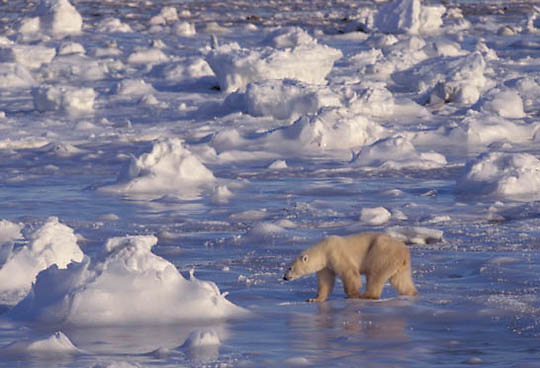 Polar Bear, (Ursus maritimus) Walking on ice.Churchill, Manitoba. Canada.