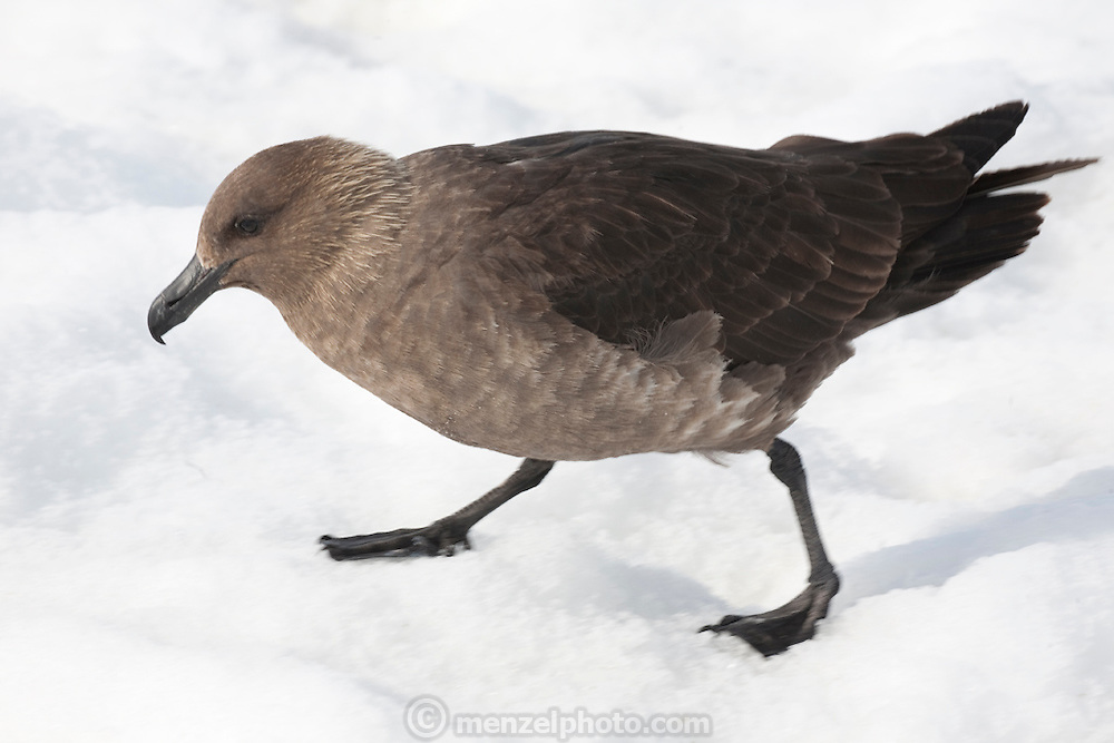 A skua bird on Cuverville Island. Gentoo penguins nesting on piles of stones chase off skua birds, the scavengers of the Antarctic as they try to eat their eggs and young chicks. Antarctic Peninsula.