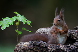 Eekhoorn kijkt op een boomstronk; Red Squirrel on a tree trunk