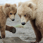 Brown bear, mother and cub, Katmai National Park, Alaska.