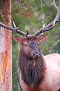 Bull Elk, Bull and Cow Elk, Cow Elk, Elk, Yellowstone, Yellowstone National Park, Wyoming