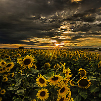 Summer sunflowers under dark clouds at sunset, near Davis, Yolo County, California.