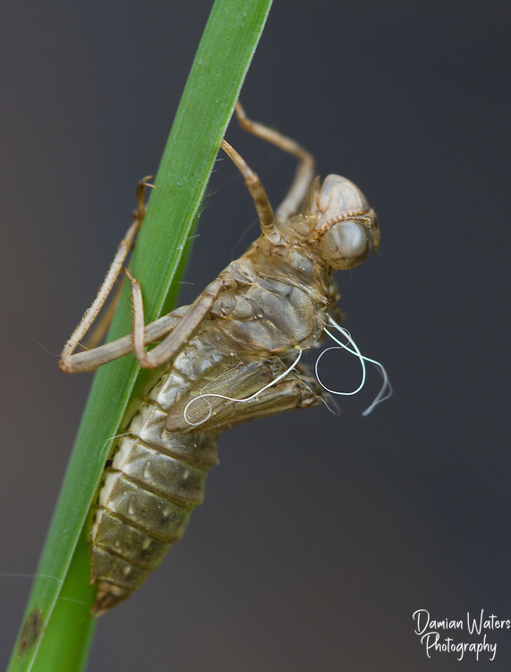 White-faced Darter, Leuchorrhinia dubia, exuvia or  exoskeleton remains