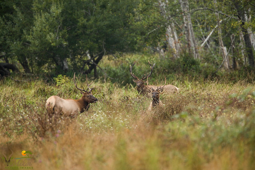 Three bull elks in field, forest on background