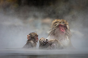 A female monkey interacts with her child inside the hot spring. Over the years, the snow monkeys at Yudanaka have grown accustomed to the hot springs and will often bathe and rest in the hot water for warmth.