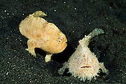 Ein Paar Haariger Anglerfische (Antennarius striatus) | Pair Hairy frogfishes or Striated frogfishes (Antennarius striatus)
