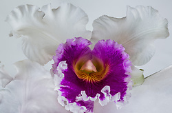 Cattleya Blc. Varut Rittenum orchid#7