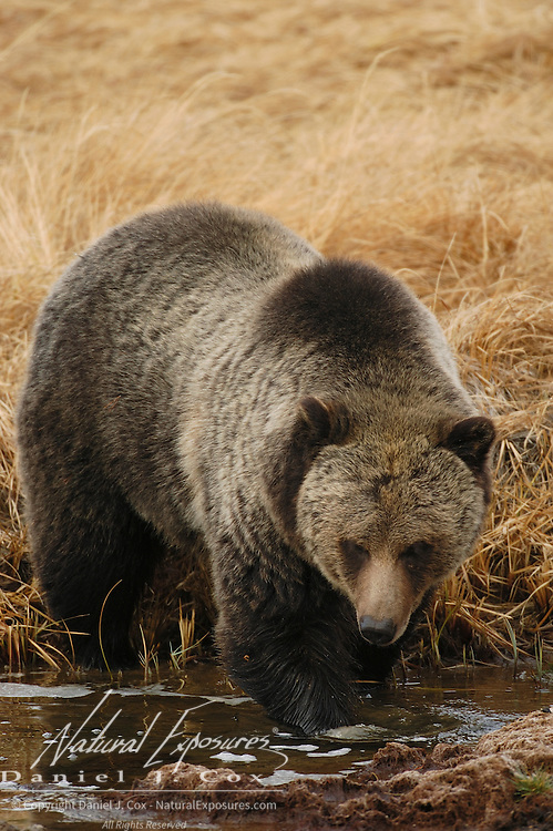 Grizzly Bear (Ursus horibilis) female roaming  in Yellowstone National Park during autumn. Wyoming