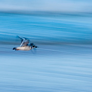 Plover bird flying along the seashore in the Bahamas